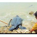 Foto: Pemdes Pagarbatu Saat Melepaskan Kembali Penyu Belimbing Yang Ditemukan Warga.